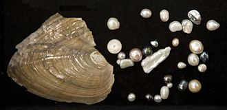 Unionoida - Shell of one species of freshwater pearl mussel, possible Lasmigona complanata (commonly known as the white heelsplitter), with pearls.