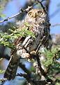 Pearl-spotted Owlet, Glaucidium perlatum, at Borakalalo National Park, Northwest Province, South Africa (16203423792).jpg