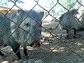 Pecarí en el Zoofari, Cuernavaca, Morelos.jpg