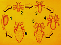 Pediculus humanus development numbered.png