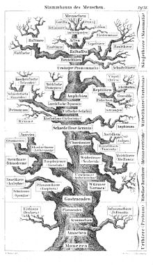 On The Origin Of Species  Wikipedia Haeckel Showed A Main Trunk Leading To Mankind With Minor Branches To  Various Animals Unlike Darwins Branching Evolutionary Tree