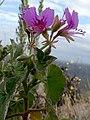 Pelargonium cordifolium Potberg 2.jpg