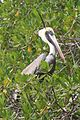 Pelican-Peruvian-smo-071122.jpg