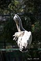 Pelican Bannerghatta.jpg