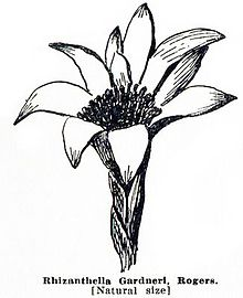 Pelloe - West Australian Orchids p66.jpg