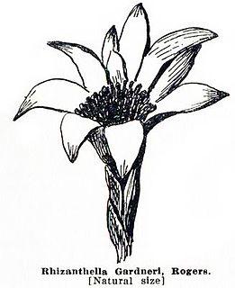 <i>Rhizanthella gardneri</i> species of plant