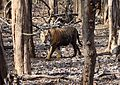 Pench Tiger2 by Ananth T.jpg