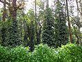 Pepperplant.jpg