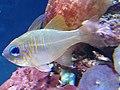 Percoidei - Zoramia leptacantha - 1.jpg