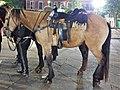 Perissodactyla - Equus caballus - 56.jpg