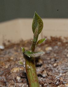 Persea americana (Avocado) Sprout 08May2010.JPG