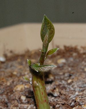 Hass avocado - A young Hass avocado sprout