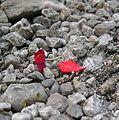 Petali rossi in giardino (2473659585).jpg