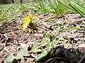 Pflaumenfarbener Löwenzahn (Taraxacum bellicum) Eichenhain, Stuttgart-Riedenberg 14. April 2018.jpg