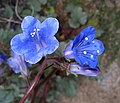 Phacelia campanularia vasiformis.jpg