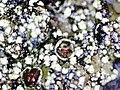 Phaeophyscia orbicularis 107170130.jpg