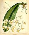 Phalaenopsis stuartiana - Curtis' 108 (Ser. 3 no. 38) pl 6622 (1882).jpg