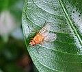 Phaonia pallida (35880331513).jpg