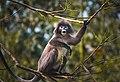 Phayre's Leaf Monkey calling.jpg