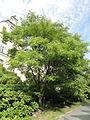 Phellodendron amurense - Botanical Garden in Kaisaniemi, Helsinki - DSC03747.JPG