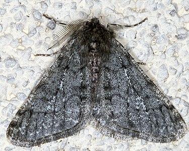 Phigalia pilosaria, Lodz (Poland) 01.jpg