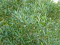 Phillyrea angustifolia (Jardín Botánico Canario Viera y Clavijo).jpg