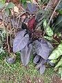 Philodendrum purple leaf-2-shevaroy nursery-yercaud-salem-India.JPG