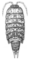 Philoscia javanensis Searle, 1922.png