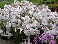 Phlox subulata 'Amazing grace' 7.jpg