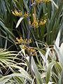 Phormium cookianum 'Tricolor'.jpg