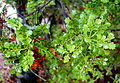 Phyllocladus aspleniifolius (Phyllocladus glaucus) - UC Santa Cruz Arboretum - DSC07551.JPG