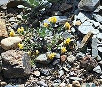 Physaria alpina prg1.jpg