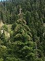 Picea orientalis 4.jpg