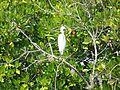 Pichavaram Mangrove Little Egret.jpg