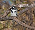Pied kingfisher (6175729991).jpg
