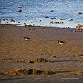 Pied oystercatcher on tidal strand Shorncliffe Bramble Bay Queensland IMGP4324.jpg