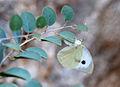 Pieris brassicae 03.jpg