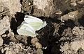 Pieris rapae - Küçük beyazmelek 04.jpg