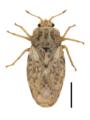 Piesma maculatum.png