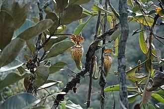 Nepenthes burbidgeae - Upper pitchers