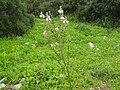 PikiWiki Israel 3914 asphodelus microcarpus.jpg