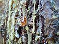 Pine Tree-Pahalgam,Jammu&Kashmir,India.JPG