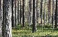 Pine forest Haukipudas Oulu 20130908 01.JPG