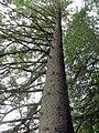 Pine tree - geograph.org.uk - 486275.jpg