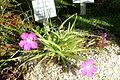 Pinguicula moctezumae - Botanischer Garten Braunschweig - Braunschweig, Germany - DSC04335.JPG
