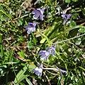 Pinguicula vulgaris var. macroceras (Mount Nukedo).jpg