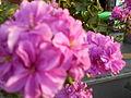 Pink Flowers 05.JPG