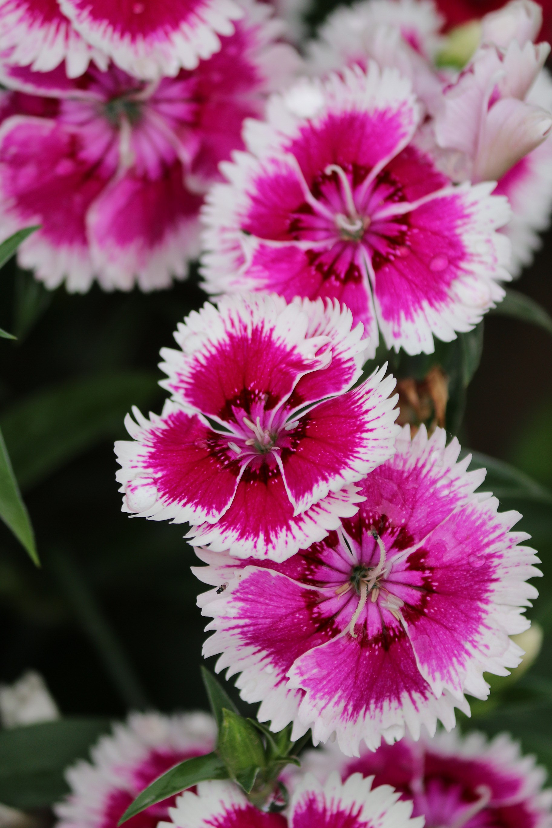 Filepink And White Flowers Species Unidentified In India 2016