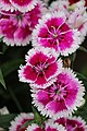 Pink and white flowers, species unidentified, in India, 2016.jpg