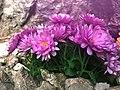 Pinks (248897791).jpeg
